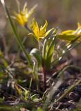 Luddvårlök (Gagea villosa)