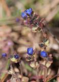 Klibbveronika (Veronica triphyllos)