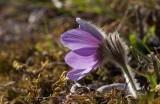Gotlandssippa (Pulsatilla vulgaris ssp. gotlandica)