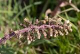 Pestskråp (Petasites hybridus), honblomma