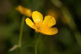 Gulsippa (Anemone ranunculoides)