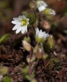 Alvararv (Cerastium pumilum)