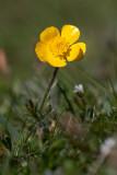 Knölsmörblomma (Ranunculus bulbosus)
