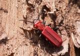 Cinnoberbagge (Cucujus cinnaberinus)