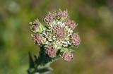 Fältkrassing (Lepidium campestre)