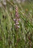 Luktsporre (Gymnadenia odoratissima)