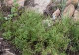 Nålkörvel (Scandix pecten-veneris)