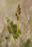 Nordlåsbräken (Botrychium boreale)