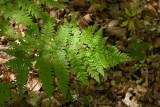 Nordbråken (Dryopteris expansa)