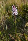 Jungfru Marie nycklar (Dactylorhiza maculata ssp. maculata)
