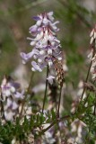 Skogsvicker (Vicia sylvatica)