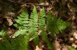Skogsbräken (Dryopteris carthusiana)
