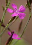 Backnejlika (Dianthus deltoides)