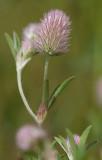 Harklöver (Trifolium arvense)