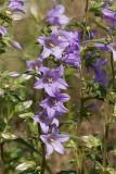 Nässelklocka (Campanula trachelium)