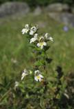 Finnögontröst (Euphrasia rostkoviana ssp. fennica)