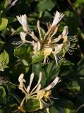 Vildkaprifol (Lonicera periclymenum)