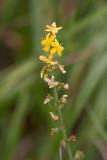 Småborre (Agrimonia eupatoria)