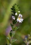 Vanlig ögontröst (Euphrasia stricta var. brevipila)