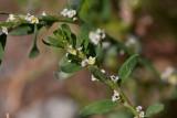 Bägartrampört (Polygonum aviculare ssp. microspermum)