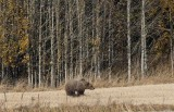 Brown Bear (Ursus arctos arctos)