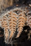 Örnbräken (Pteridium aquilinum)