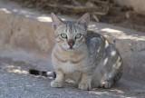 Gordon's Wildcat (Felis silvestris gordoni)
