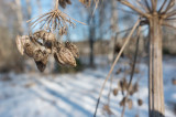 Tromsöloka (Heracleum persicum)