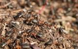Röd skogsmyra (Formica rufa)