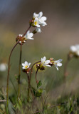 Mandelblomma (Saxifraga granulata)