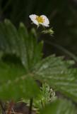 Smultron (Fragaria vesca)