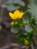 Kabbleka (Caltha palustris)