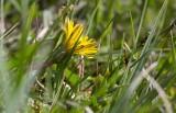 Smalfjällig strandmaskros (Taraxacum egregium)