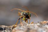 Smalbandad ekbarkbock (Plagionotus arcuatus)