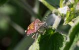 Hårig bärfis (Dolycoris baccarum)