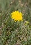 Fläckmaskros (Taraxacum maculigerum)