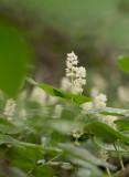 Ekorrbär (Maianthemum bifolium)