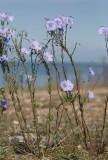 Klipplin (Linum austriacum)