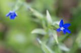 Fjällgentiana (Gentiana nivalis)