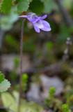 Tätört (Pinguicula vulgaris)