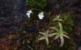 Fjälltätört (Pinguicula alpina)