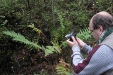 Bergbräken (Oreopteris limbosperma)