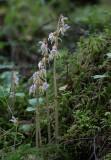 Skogsfru (Epipogium aphyllum)