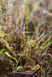 Myggblomster (Hammarbya paludosa)
