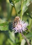 Honungsbi (Apis mellifera)