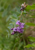 Backvicker (Vicia cassubica)