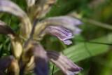 Röllikesnyltrot (Orobanche purpurea)