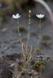 Sydknutnarv (Sagina nodosa ssp. nodosa)