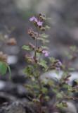 Druvgamander (Teucrium botrys)