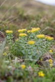 Rosenrot (Rhodiola rosea)